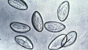 La oxiuriasis es el tipo más común de infección por gusanos redondos en los Estados Unidos.