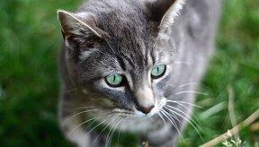 Si tu gato parece tener un malestar estomacal, hay una serie de probados y verdaderos remedios que puedes tratar para aliviar su estómago.
