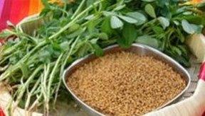 El fenogreco es una planta que se utiliza como hierba y condimento.