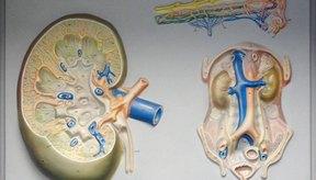 Las glándulas suprarrenales se encuentran en la parte superior de los riñones.
