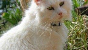 Debido al tamaño pequeño de los gatitos y su desarrollo inmaduro, las infestaciones de gusanos pueden ser peligrosas en ellos.