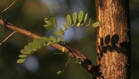 El árbol de Acacia ha sido usado para propósitos medicinales por siglos.