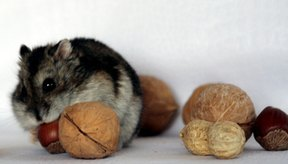 Los hámsters pertenecen a la subfamilia Cricetinae.