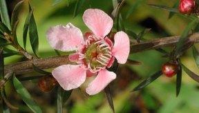 Flor rosada del árbol de té.