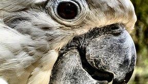 Los problemas oculares suelen ser un síntoma de un problema más grave en el loro.
