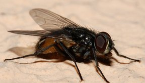 Los huevos de las moscas se convierten en larvas que pueden alojarse en el oído.