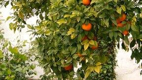 El aceite producido a partir de las flores del naranjo amargo se llama neroli.
