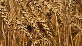 Los productos con trigo integral contienen salvado y el germen del grano.