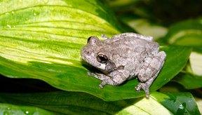 Existe el mito de que las verrugas se contraen por entrar en contacto con ranas.
