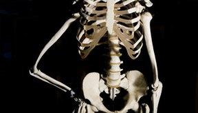El esqueleto es el banco de calcio del organismo, que ayuda a mantener los niveles de sangre constantes.
