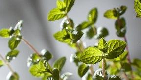 Una planta de menta brinda numerosas hojas que se pueden desecar para varios usos.