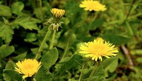 Las reacciones alérgicas a la ambrosía u otras plantas pueden indicar que reaccionarás al diente de león.