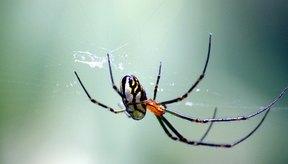 Araña viuda negra.