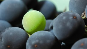 Las semillas de uvas son desperdicios de los viñedos y de la industria del jugo de uva.
