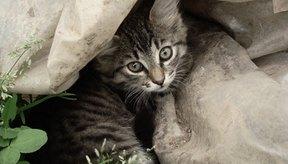 Los gatitos suelen adquirir las tenias de las pulgas y lombrices intestinales de sus madres infestadas.