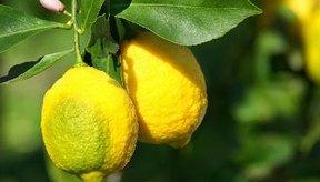 Comer limones mientras estás embarazada tiene ventajas y desventajas.
