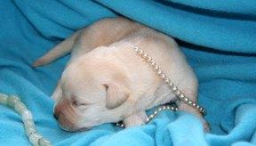 Una perra joven o enferma puede estar bajo una gran tensión a la hora de tener cachorros.