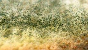 El aspergillus es un hongo peligroso para la salud humana y animal