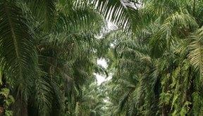 El aceite de palma humecta la piel y el cabello.