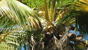 Los cocos verdes y jóvenes contienen agua de coco.