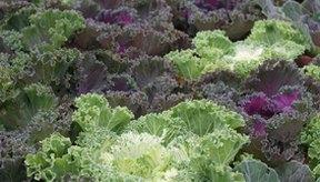 Comer verduras de hoja verde te proporciona fibra para una mejor digestión y te ayudará a eliminar el olor corporal.