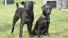 Niveles bajos de albúmina en perros pueden deberse a una serie de afecciones.
