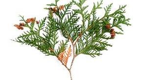 La Thuja occidentalis es un árbol que se usa en homeopatía.