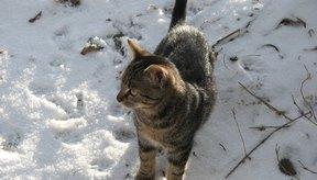 Los gatos que pasan mucho tiempo afuera son más susceptibles a contraer leucemia felina.