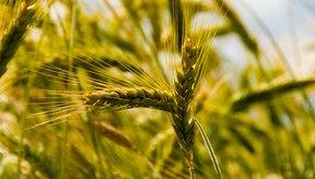 El ingrediente clave en los cereales es el grano.