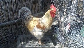 ¿Pueden los pollos transmitir enfermedades a los seres humanos?