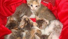 La giardiasis puede causar daño al revestimiento intestinal de tu gato e interferir con la digestión.