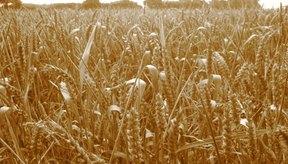 Hecha a partir del trigo, la harina de semolina contiene gluten.