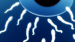 Los conductos deferentes son los que trasladan la esperma.