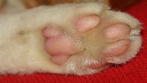 Enfermedades en las patas de los gatos.