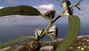 Agregar aceite de eucalipto al agua en el humidificador puede aliviar los síntomas respiratorios.