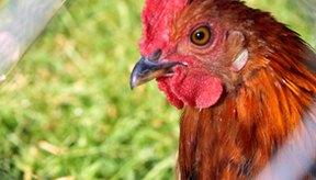 Las gallinas son vulnerables a todo tipo de enfermedades, al igual que nosotros.