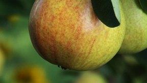La celulosa microcristalina se refina a partir de fibras vegetales insolubles.