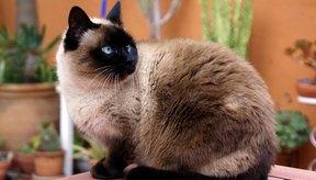 Lleva a tu gato al veterinario si muestra signos de dificultad para orinar.