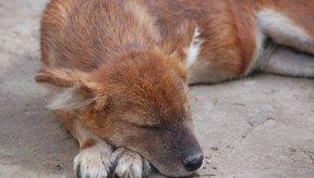 El carprofeno se usa para aliviar el dolor en perros.