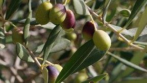 Los olivos pueden causar alergias al polen.