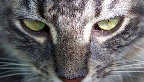 Si tu gato tiene tenias, puedes observar segmentos pálidos de gusanos alrededor de su área trasera o en su materia fecal.