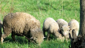 La lanolina proviene de las ovejas.
