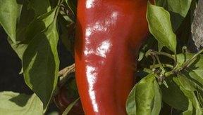 La pimienta de cayena tiene varios beneficios.