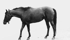 Las infecciones y disfunciones renales pueden presentarse en caballos, dando lugar a graves complicaciones de salud si no se identifican y se tratan adecuadamente.