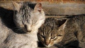 Mantén a tus gatos felices al tratarles la infección urinaria.