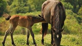 El tétano es una infección peligrosa y si no se trata a tiempo el caballo puede morir.