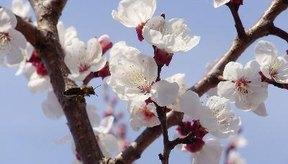 Las reacciones alérgicas al polen estacional pueden causar dolor de oído.