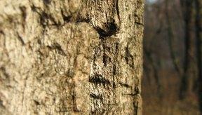 La corteza de la acacia es molido en un fino polvo antes de usarse.