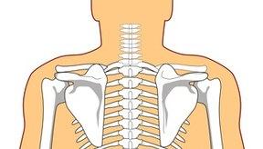 La musculatura paravertebral de la columna torácica consta de cinco grupos de músculos.