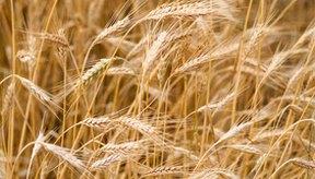 El trigo tiene una densidad de energía y de nutrientes más alto que el maíz, aunque el maíz contiene más vitaminas.